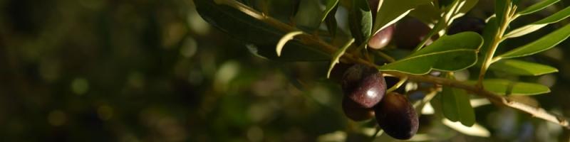 vendita olio extravergine di oliva del Gargano