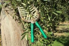 forbice per raccogliere olive