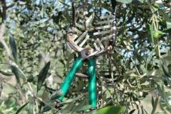 forbice per raccolta olive