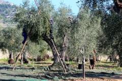 Albero olivo Masseria Papone