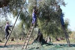 produzione olio di oliva Masseria Papone
