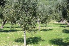 Natives Olivenöl des Gargano