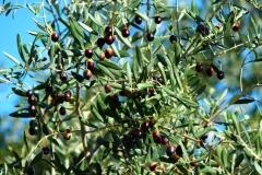 olive italiane che producono ottimo olio