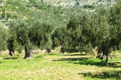 masseria papone produzione olio