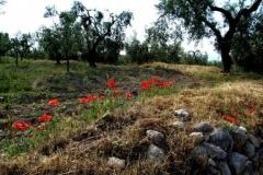 alberi di ulivo in campagna