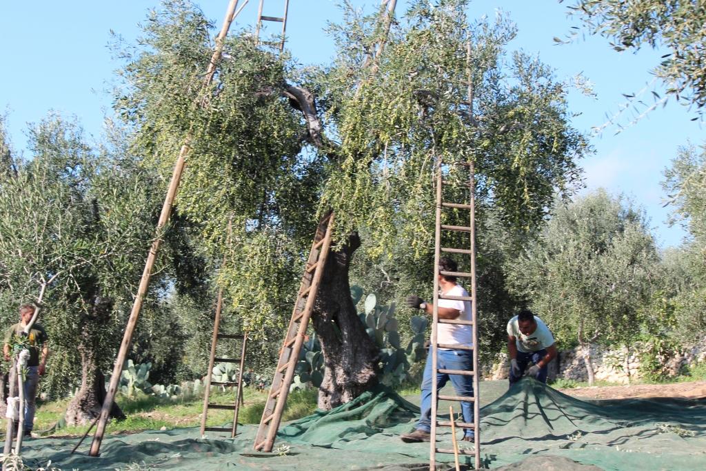 raccolta con scale olive