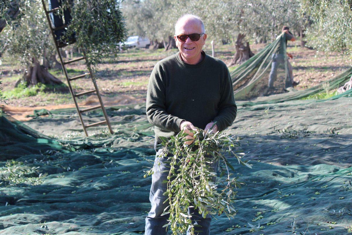 raccolta olive masseria papone