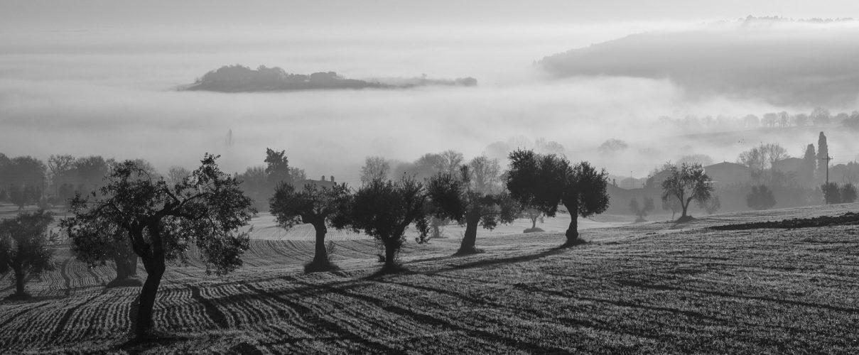 oliveto nella nebbia produzione olio