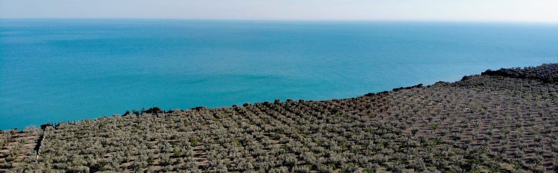 oliveto olio di oliva del gargano